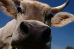 Kuh von beety bei Flicker gefunden